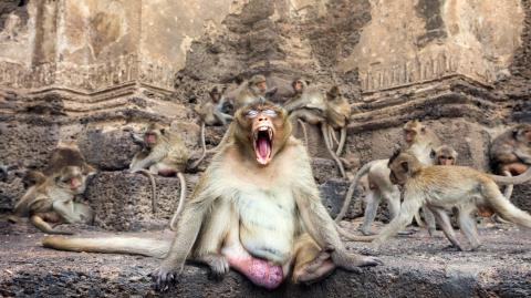 Sex Crazed Monkeys Have Resulted in No-Go Zones For One Thai City