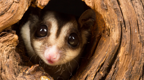 Australian Scientists Discovered a New Species of 'Sugar Glider'