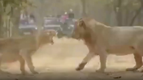 A Photographer Captured a Rare Scene Involving Two Fierce Lions in the Wild