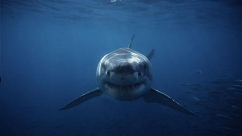 A Woman Was Killed by an Extremely Rare Great White Shark Attack