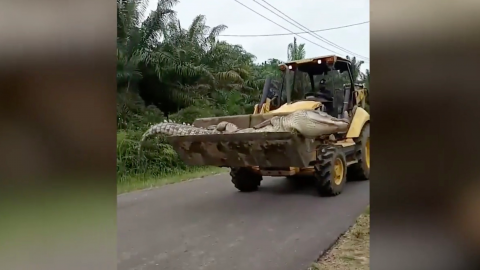 Half Tonne 'Demon Crocodile' Beheaded and Buried by Indonesian Villagers