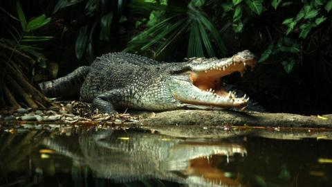 Check Out the Incredible Footage of a Crocodile Protecting Its Eggs From Two Monitor Lizards