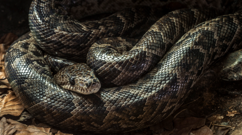 Good News: Snakes Have Been Found Hunting In Packs