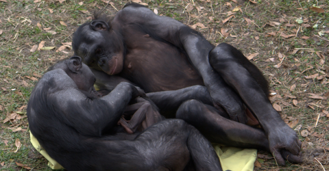 Researchers stunned by apes exhibiting human-like behaviour during child birth