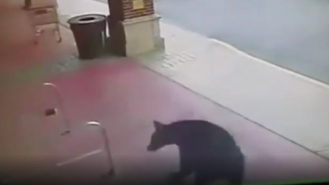 Thirsty wild bear wanders into a liquor store (VIDEO)