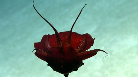Bizarre creature spotted in the depths of the Atlantic has shocked scientists