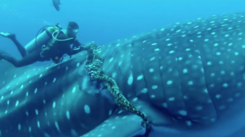 Divers rescue a whale shark that had been suffering for years