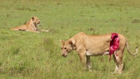 This lioness was left for dead… Then something amazing happened