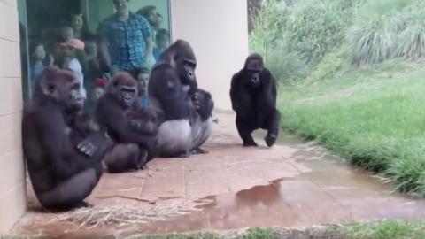 Hilarious viral video proves gorillas really hate the rain
