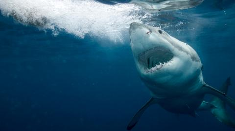 This shark battled with a putterfish but did not come out alive