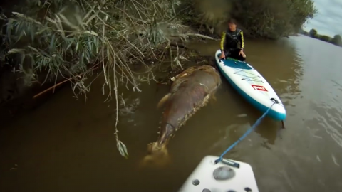 This giant tuna was discovered by kayakers on River Severn