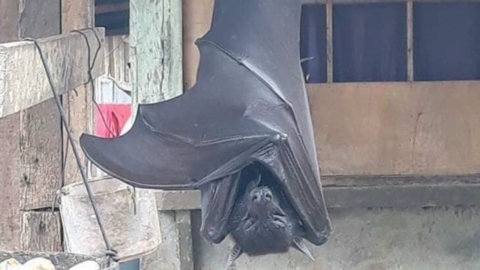 This photo of a 'human sized' bat is taking the internet by storm