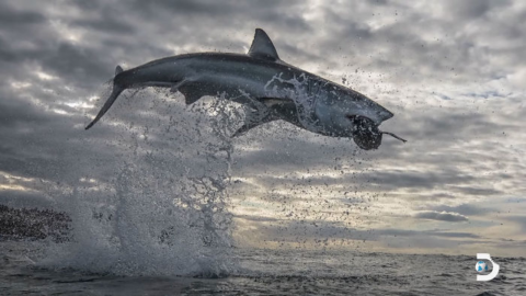 Great white shark makes a record-breaking 15+ feet jump out of the water in South Africa