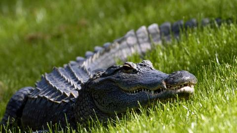 A huge alligator in the middle of a golf course has been causing quite a stir