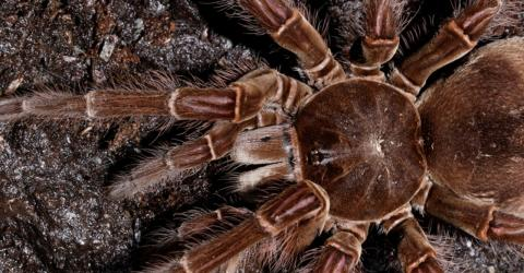 This Terrifying Creature Is the World's Largest Spider