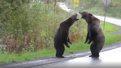 This wild footage shows two bears having a very human-like fight