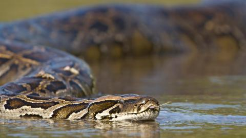 Terrifying footage of a man trapped in an anaconda's deadly embrace
