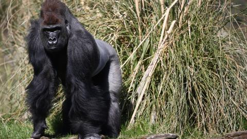 Horrified visitors witnessed this brutal fight between two gorillas