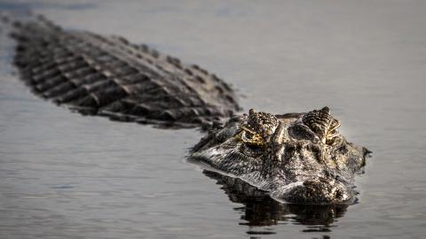 This man caught an alligator with his bare hands