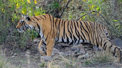 Two bikers narrowly escape being mauled by a tiger (VIDEO)