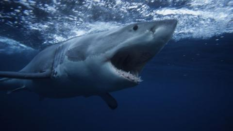Australian surfer punches shark to save his wife's life