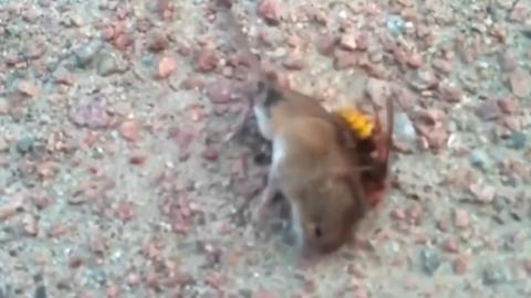 This mouse doesn't stand a chance against this 'murder' hornet