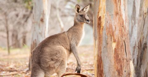 Shocking Footage Shows a Man Punching a Kangaroo In the Face