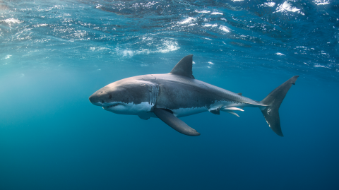 Boy narrowly escapes death after a great white shark attack