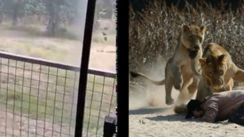 Man gets mauled by lions after scaling 20ft zoo enclosure
