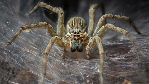 Scientists say spiders could eradicate humans from Earth within a year