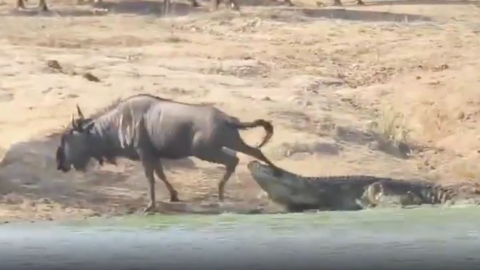 This Crocodile was making a meal out of a wildebeest...Until something bigger came along
