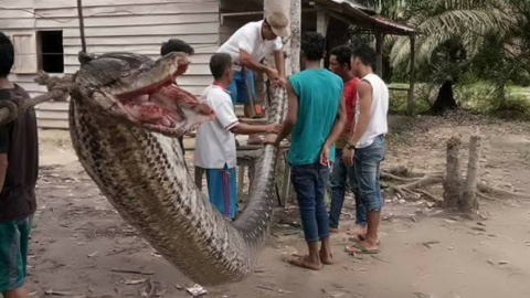 Indonesian villagers fought off this massive python that stumbled into their home