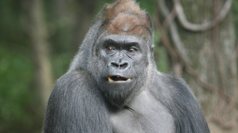 This gorilla escaped from London Zoo and you'd never guess what he got up to