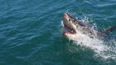 Shark Leaps Nearly 1 Meter Out of the Water to Eat a Scientist