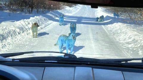 Blue dogs have been spotted in the wild near a Russian chemical plant