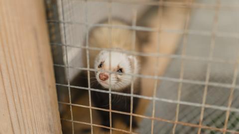 Meet Elizabeth Ann, the first clone of an endangered species of ferret
