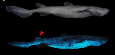 A new species of sharks that glow in the dark has just been discovered