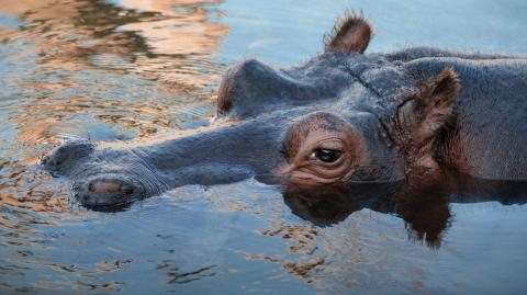 A driver was violently attacked by a hippopotamus in South Africa