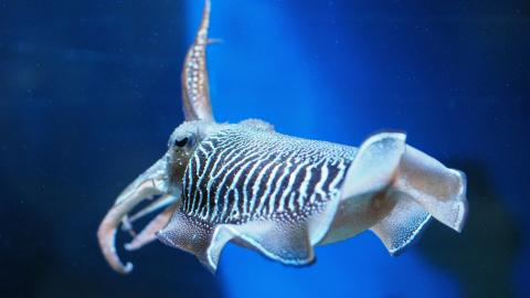 Cuttlefish can exhibit human-like delayed gratification, science finds