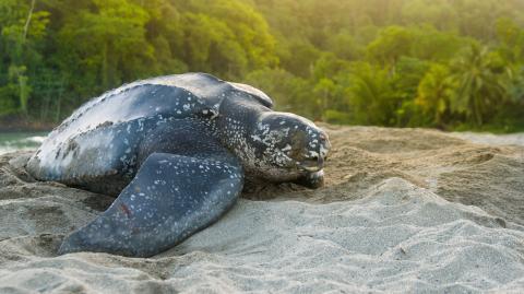 Nine leatherback turtles, an endangered species, have been born in Ecuador