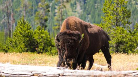Woman narrowly avoids being attacked by a bison after playing dead