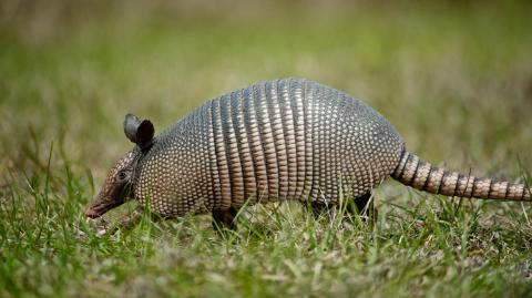 Meet the armadillo, an animal with an oversized penis