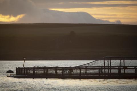NGO reveals shock investigation into Scottish salmon industry