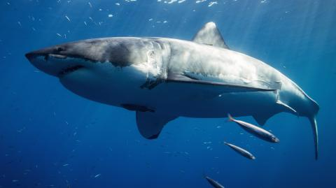 The Giant 17-foot great white shark crossing the Atlantic is making its way to the UK
