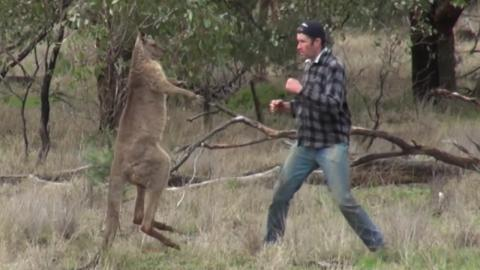 This man squared up with a kangaroo to save his dog