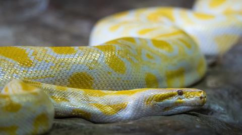 Man nearly dies after attempting to take a selfie with a python