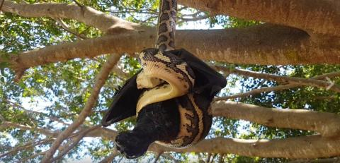 Watch this snake attack a giant bat in Australia