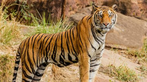 Poacher responsible for the death of 70 tigers has finally been caught by police