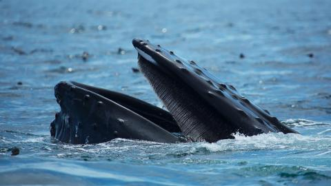 Fisherman gets swallowed by a humpback whale, miraculously escapes