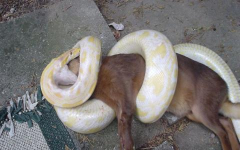 A python was about to make a meal out of this dog